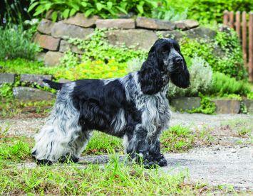 English Cocker Spaniel Dog Breed Profile | Petfinder