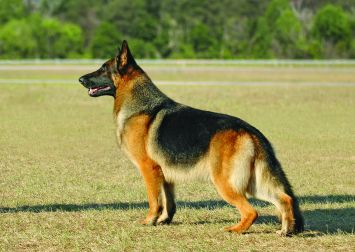 German Shepherd Dog Dog Breed Profile | Petfinder