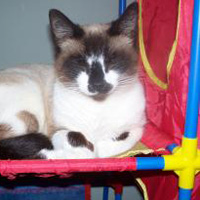snowshoe cat winking, adoption story