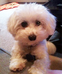 White Maltese Dog looks at the camera