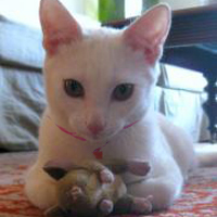 White kitten with toy