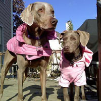 Two weimaraners in pink coats