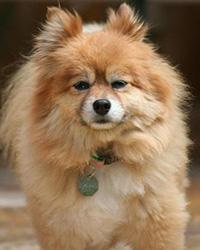 Tan Pomeranian looks at the camera