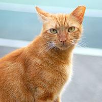 Orange, ear-tipped feral cat