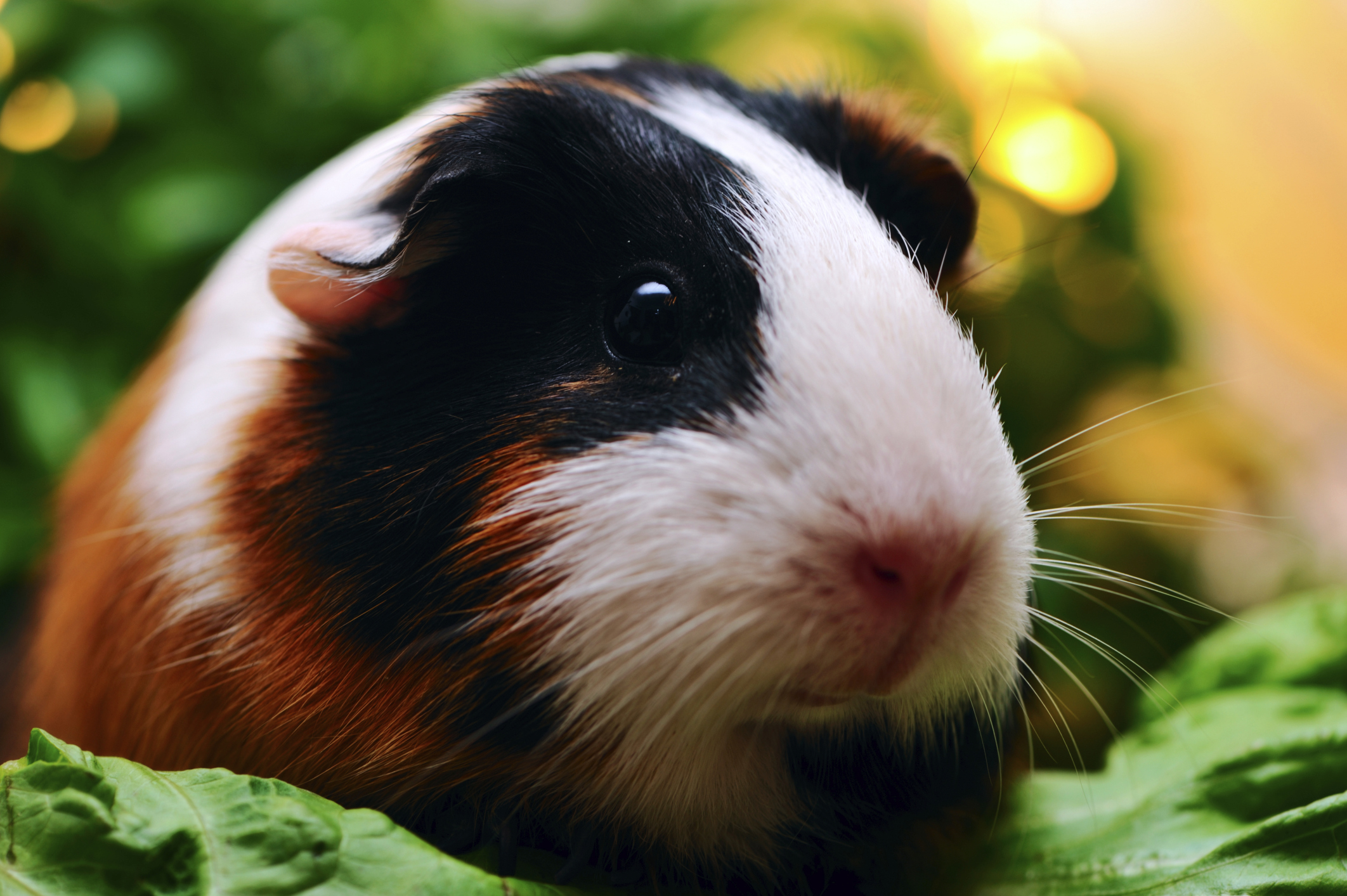 Living With Guinea Pig Allergies