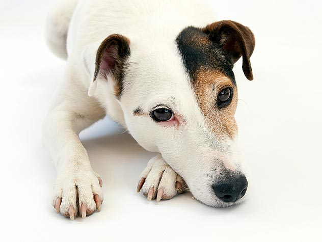 Diagnosis and Treatment of Distemper in Dogs