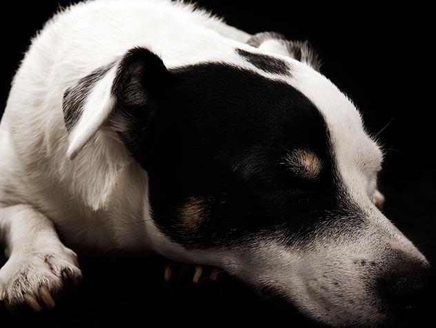 Dog Breeds at Risk for Bloat