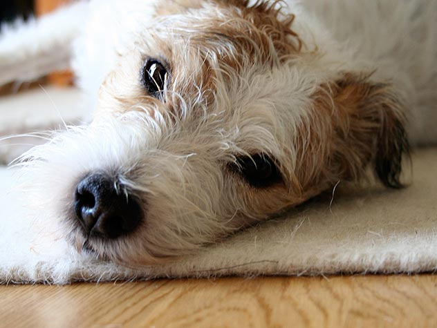Is Your Pet Allergic to Fleas?