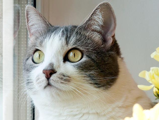 Treatments for Feline Stomatitis