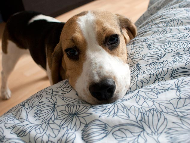 Treating a Yeast Infection in a Dog's Ears