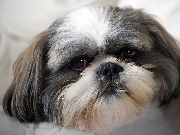 Symptoms of Yeast Infections in Dogs' Ears