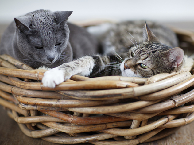 an introduction to the domestic cat An introduction to purring felis silvestris catus, the domestic cat, can be found in  a third of american households, and there are more than 600 million domestic.