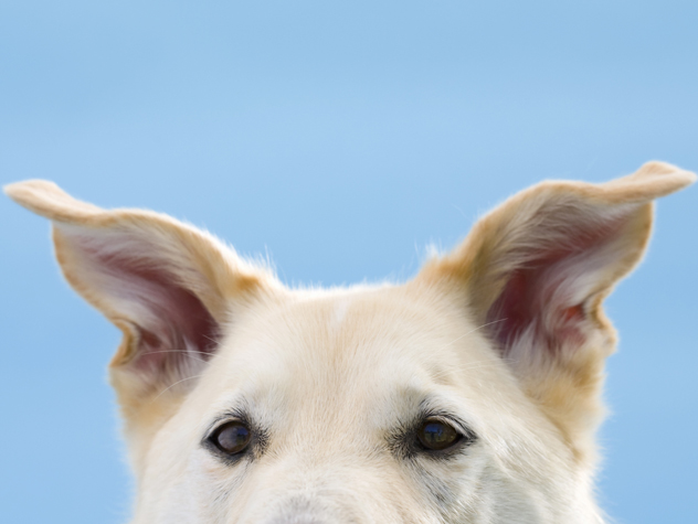 How To Clean a Dog's Ears: More Tips