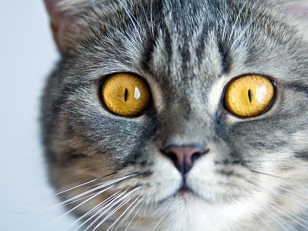 Thyroid Disease and Cats