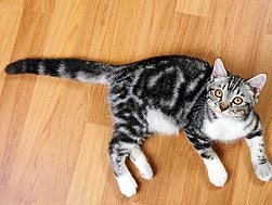 cat on hardwood floor