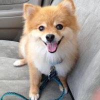 Izzy, the Pomeranian