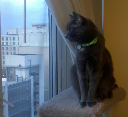 Grey cat on a cat tree