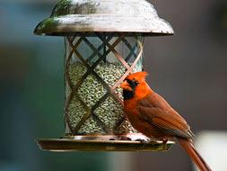 Cardinal with bird feeder