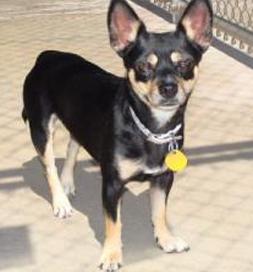 Montana, an adoptable Chihuahua