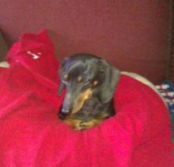 miniature dachshund on a red blanket