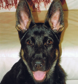 Jackson the German Shepherd