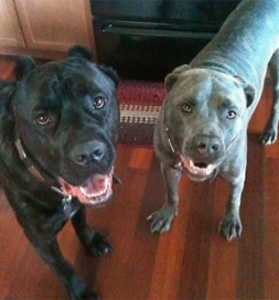 Trooper and Tank, two Cane Corsos