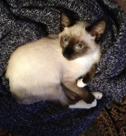 Peanut, a Siamese kitty