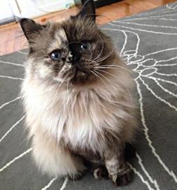 Delores, a Persian cat