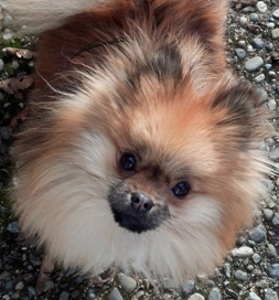 dog-adoption-pomeranian-Munchkin-Nelson