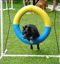 Nina has the right stuff for agility.