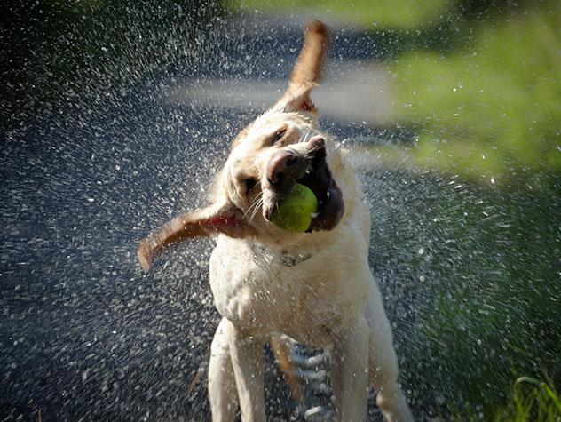 labrador shaking with a ball in its mouth