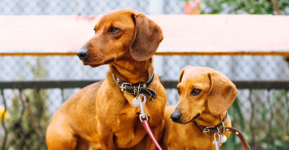 Two Dachshund dogs, sitting on a bench outside