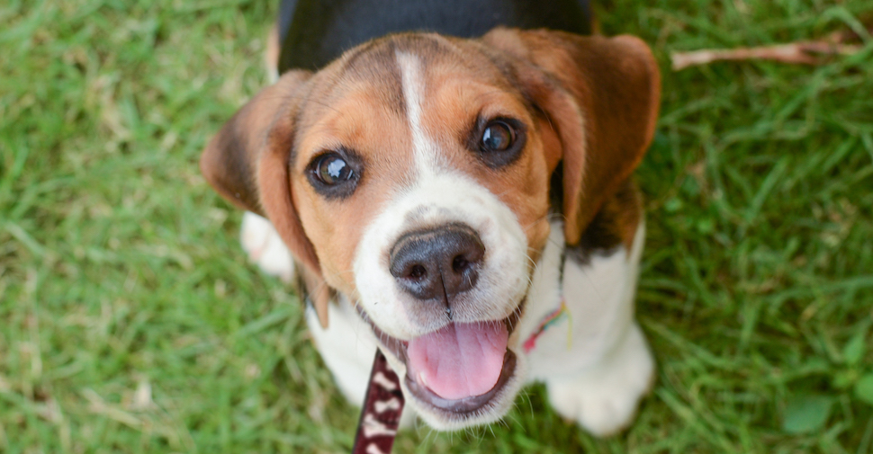 Cute Beagle puppy, looking up at camera from the grass