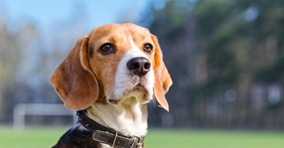Small black, white and tan Beagle with droopy ears and pointed tail