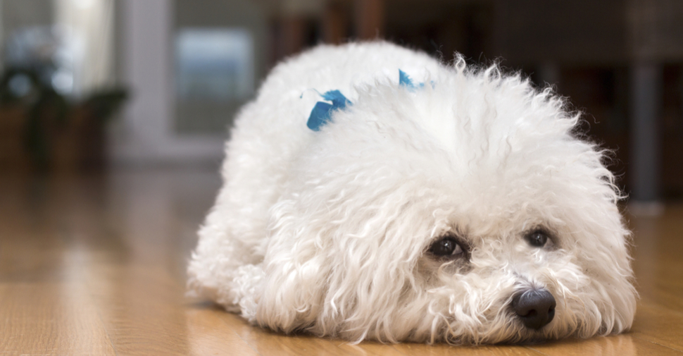 White Bichon Frise puppy lying on a hardwood