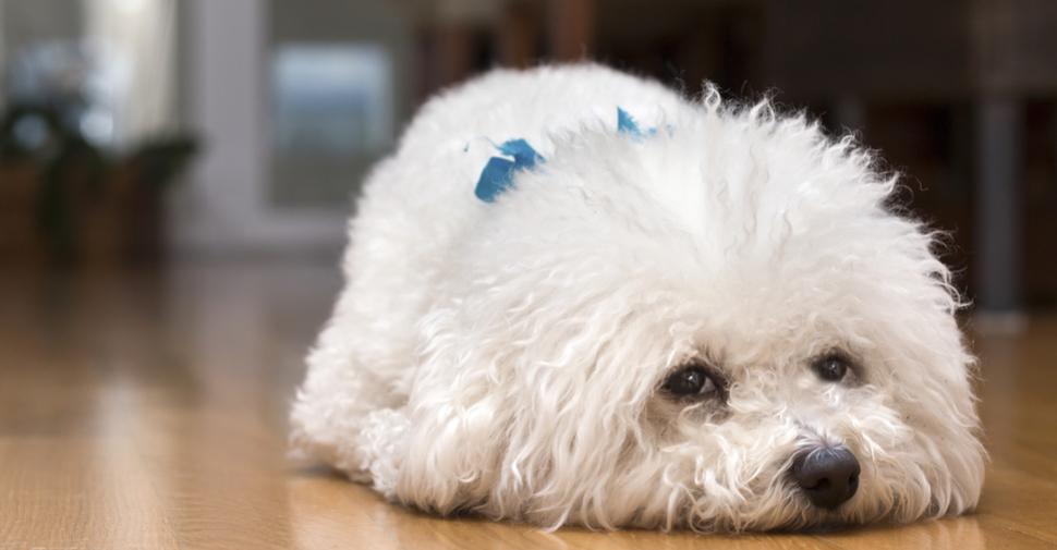 White Bichon Frise puppy lying on a hardwood