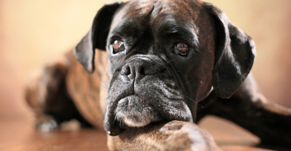 Cute Boxer dog, lying on the floor