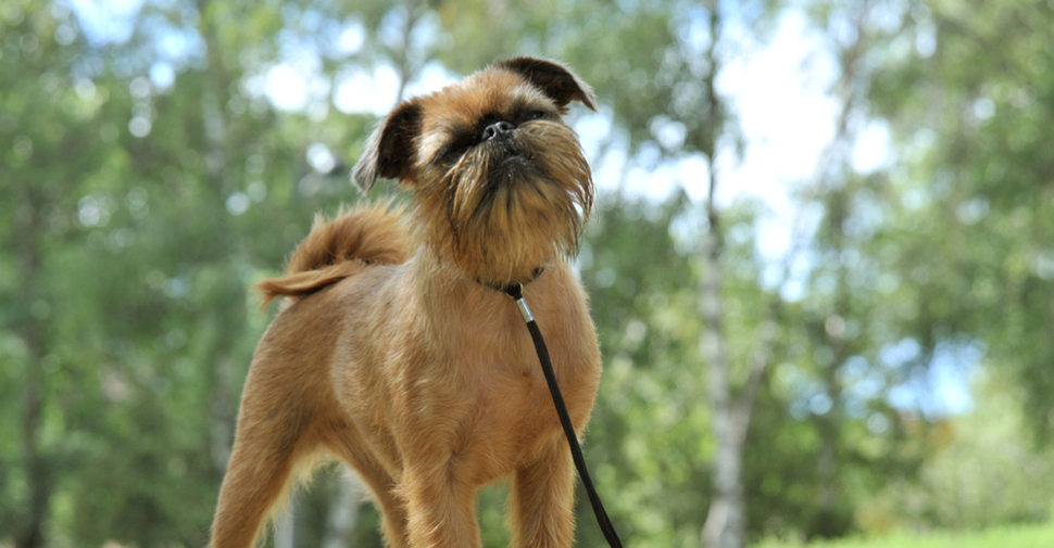 Small, brown, scruffy Brussels Griffon with a curly tail