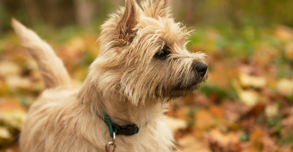 Scruffy, brown Cairn Terrier, standing alert with pointed ears and tail