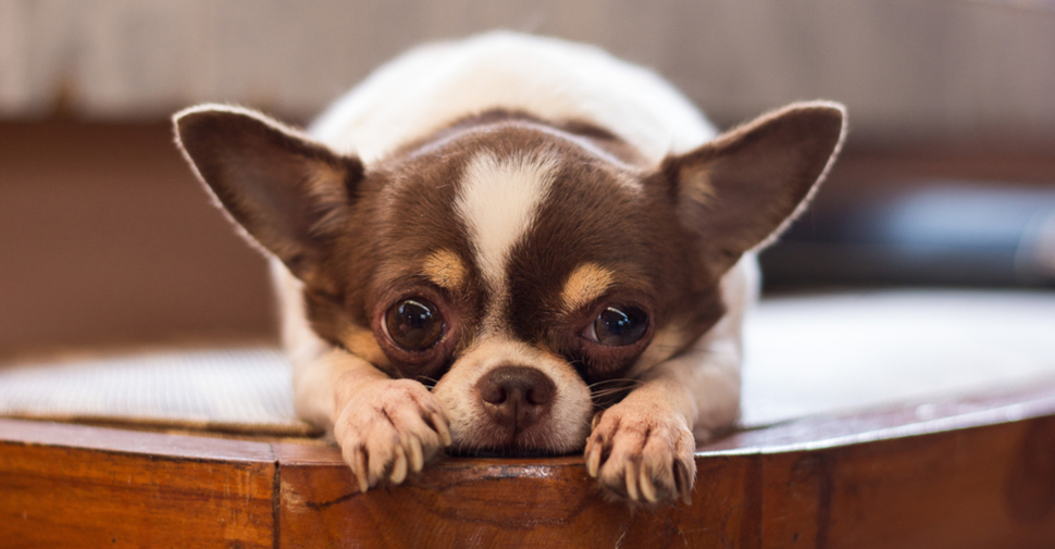 Tiny Chihuahua with pointed ears and tail, and brown and white fur