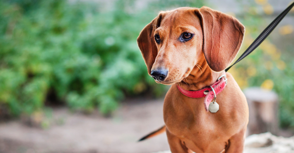 Brown dachshund with short legs and droopy ears