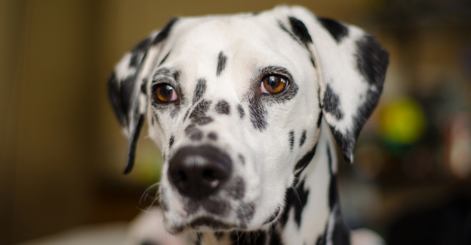Dalmatian looking off into the distance.