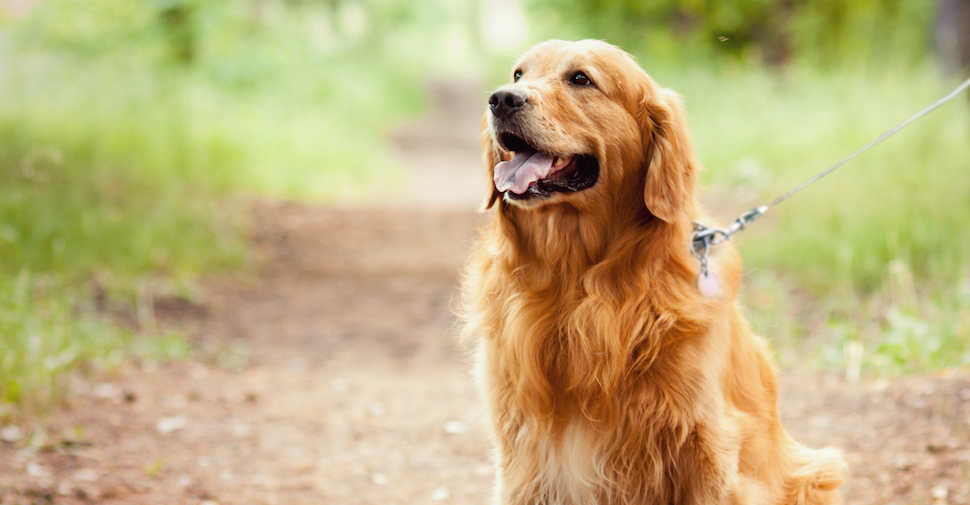 Blonde large dog breed, Golden Retriever resting on a forest path while on an outdoor walk