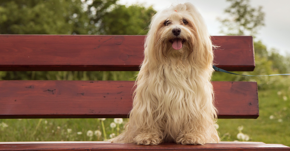Little, long-haired Havanese with white fur sitting on a bench