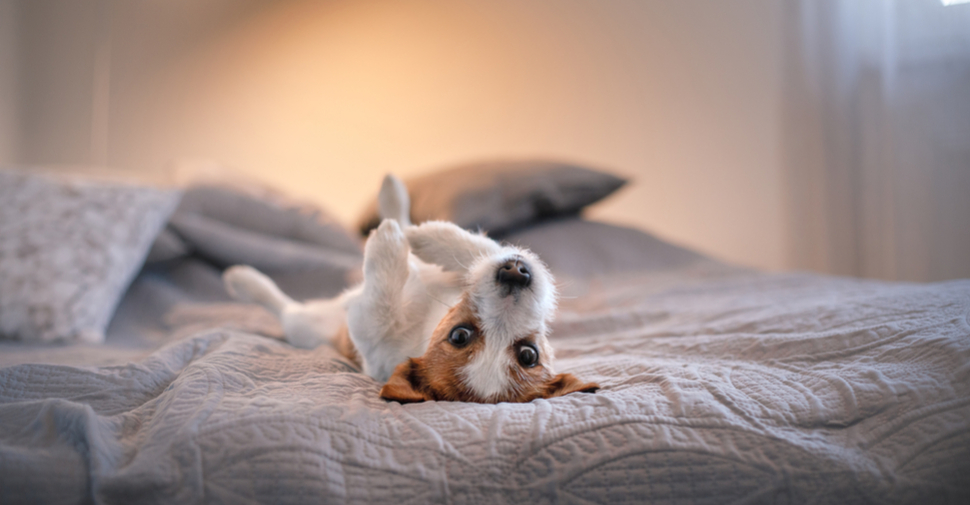 Brown and white Jack Russell Terrier, lying on a gray bed