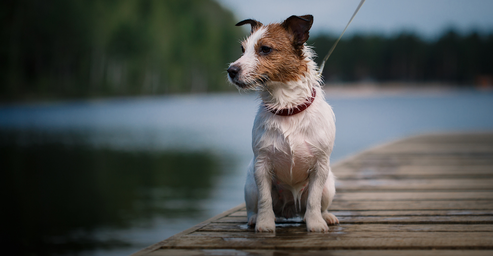 Scruffy white and brown Jack Russell Terrier with pointy ears and nose, sitting on a dock