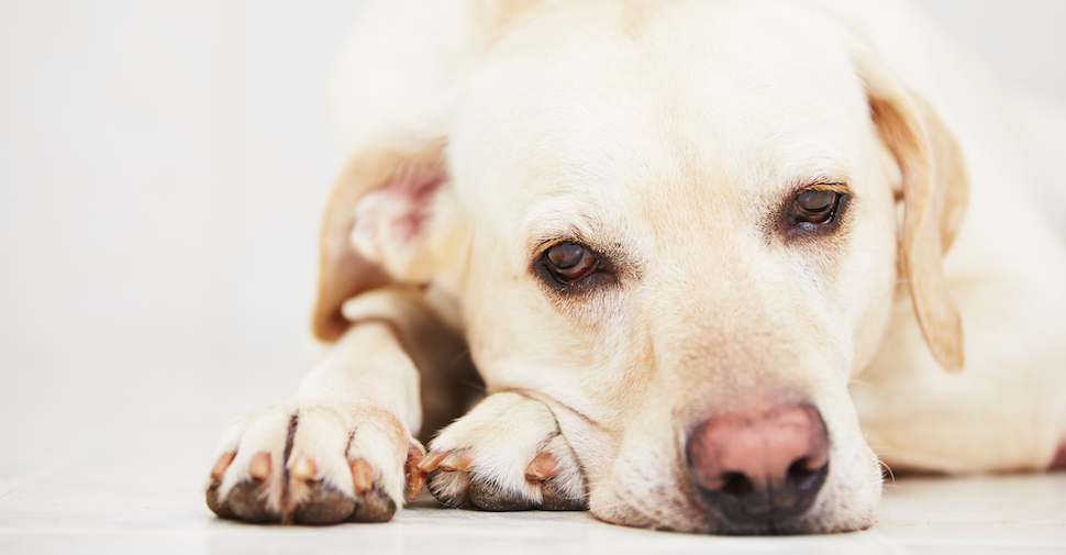 Blonde, large dog breed Labrador Retriever lying on front paws on floor, dozing off.