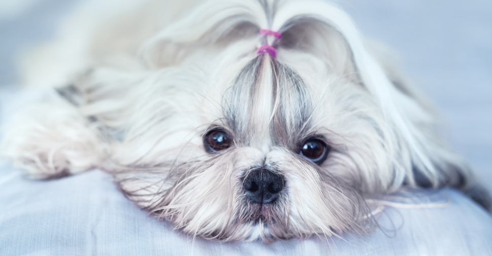 Two Shih Tzus with ribbons in hair sitting on a cream-colored couch