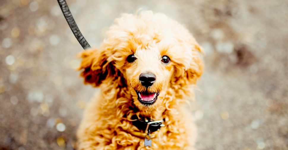Happy brown Poodle with curly fur and long ears, looking at camera