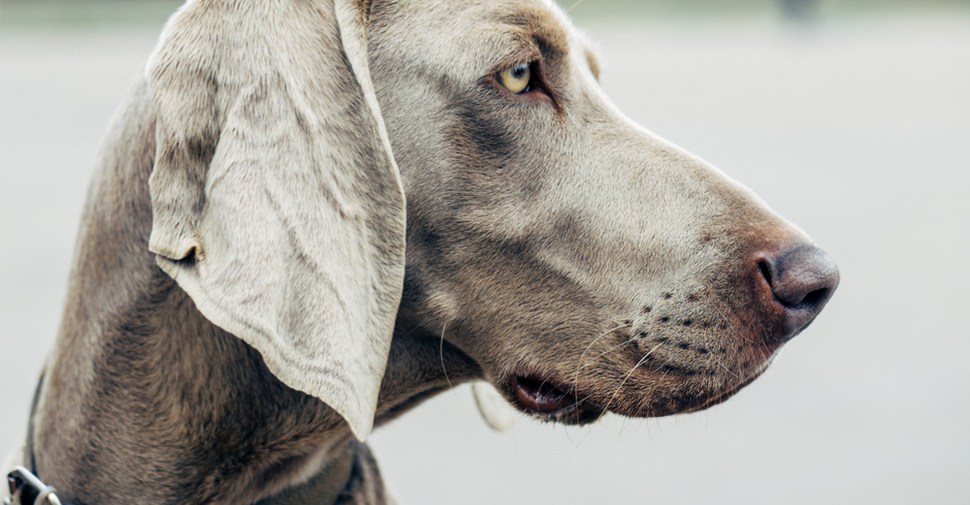 Profile of a Weimaraner dog